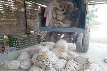 هشت هزار نفر در ایرانشهر مشغول برداشت خرما هستند