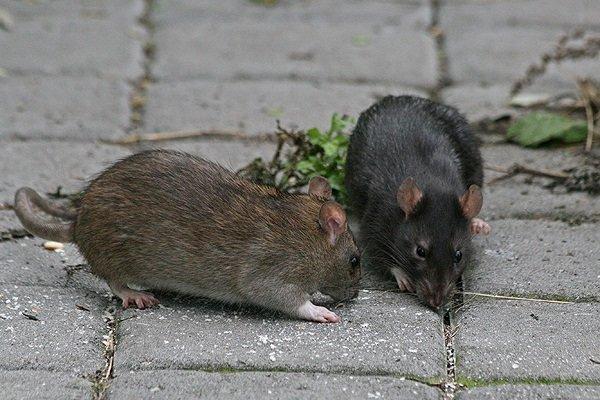 تعداد موشهای شهری در قم به مرحله بحرانی نرسیده است