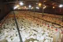 پرداخت غرامت به مرغداران خسارت دیده از بیماری آنفلوانزا