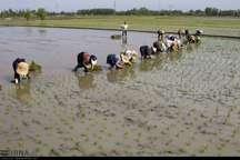 برای ارتقاء معیشت کشاورزان و کیفیت برنج سیاستگذاری میشود