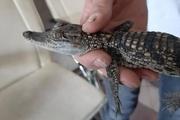 تمساح در تهران کشف شد