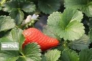 بیش از هزار تن توت فرنگی در قزوین تولید میشود
