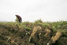 مدیر جهاد کشاورزی: تاکنون 40 هزار تن چغندر در اشنویه برداشت شده است