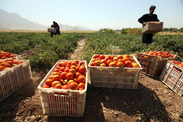 ۳۰ هزار تن گوجه فرنگی در بخش ارم دشتستان تولید شد