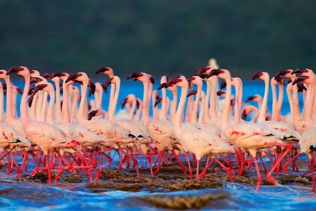 شمار فلامینگوهای دریاچه ارومیه به 45 هزار بال افزایش می یابد