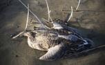 بازگشت آنفلوآنزای فوق حاد پرندگان به کشور/ شیوع بیماری در سه استان