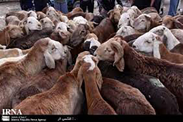 89 راس دام قاچاق در زنجان کشف شد