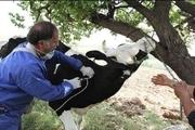 ۳۲۰ هزار راس گاو در آذربایجانشرقی علیه بیماری دامی واکسینه میشود