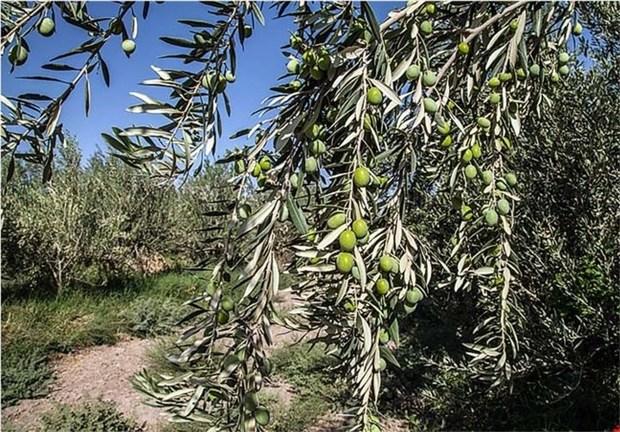 تولید زیتون امسال سمنان پنج هزار تن پیش بینی می شود