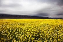 هزار هکتار از زمین های زراعی رودان به کشت کلزا اختصاص دارد