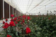 چهارمحال و بختیاری اقلیمی مناسب برای تولید گل شاخه بریده