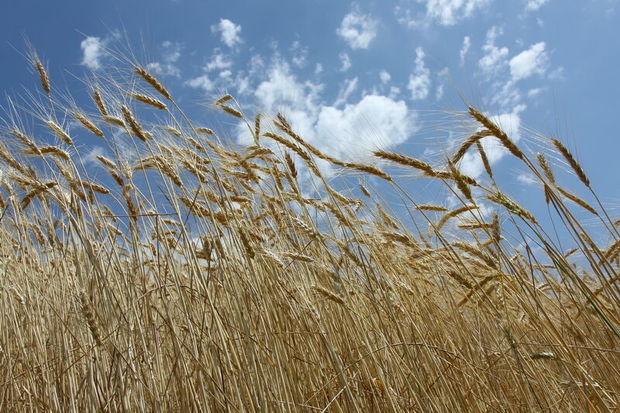مدیرتعاون روستایی: سمنان در تولید بذر غلات خودکفا است