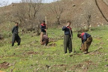 جنگلکاری در کردستان با اجرای طرح توسعه 2 برابر شده است