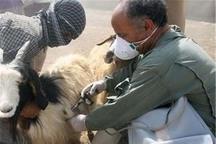 بیش از 487 هزار راس دام در ماکو واکسینه شدند