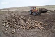 بیش از 140 هزار تن چغندرقند از مزارع اشنویه برداشت می شود