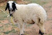 کشف 83 رأس گوسفند قاچاق در کوهدشت