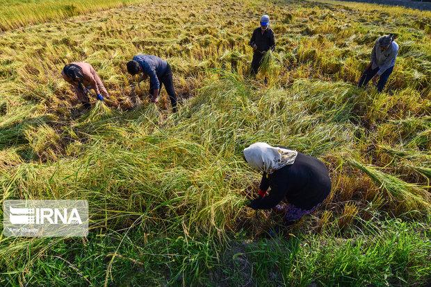 بادو باران به یکهزار هکتار از مزارع خرمشهر خسارت زد