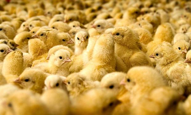 افزایش 10 درصدی جوجه ریزی مرغ گوشتی در قزوین