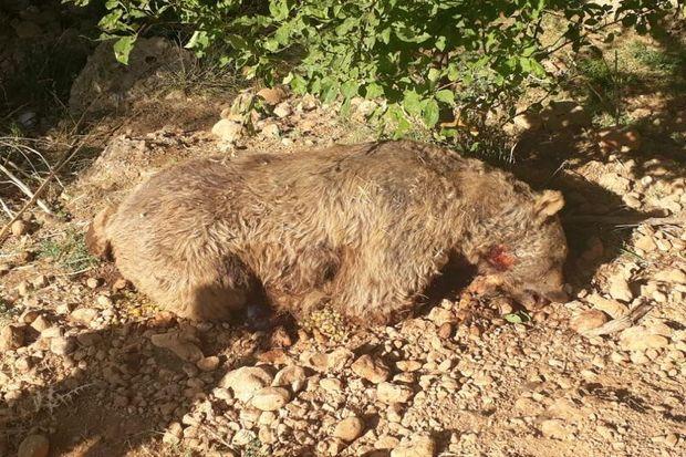 لاشه یک خرس قهوهای در گهگیلویه و بویراحمد کشف شد