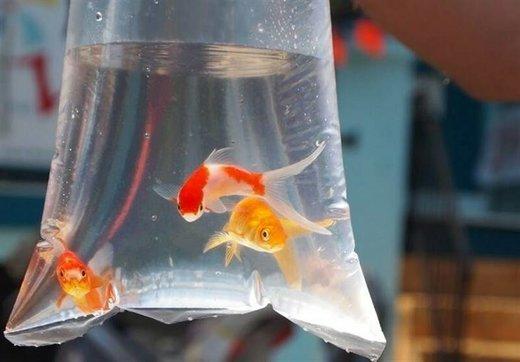 ماهی قرمز می تواند ناقل کرونا باشد