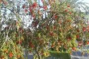 توزیع بیشاز پنج هزار اصله درخت شیشه شور در ایرانشهر
