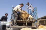 حمل دامهای بدون پلاک در مازندران ممنوع شد