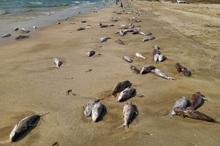 ببینید/ مرگ گربه ماهیان در ساحل جاسک