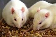 ارزش 5 میلیون دلاری تولیدات حیوانات آزمایشگاهی موسسه رازی