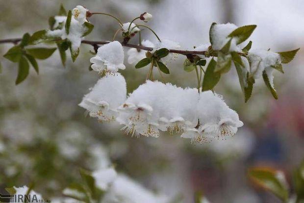 ۸۰ درصد باغهای مانه و سملقان را سرما زد