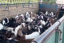 100 راس دام مولد قاچاق در خرم آباد کشف شد