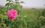 عوارض گل محمدی را بشناسید