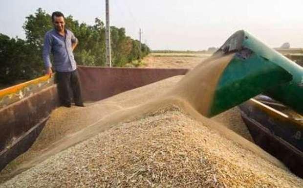 رکورد خرید گندم در آذربایجان شرقی شکسته شد