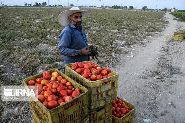 ۲۴ هزار تن گوجهفرنگی در کردستان خریداری شد