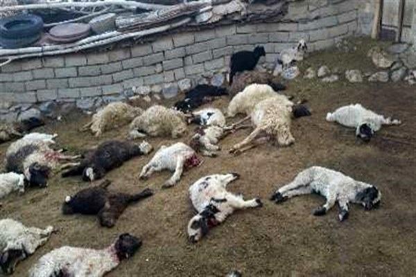 حمله یک قلاده گرگ به گوسفندان در بوئین زهرا
