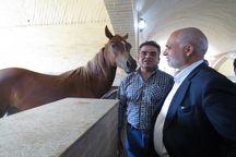 استان یزد با 400 مرکز، رتبه نخست پرورش اسب عرب کشور را دارد