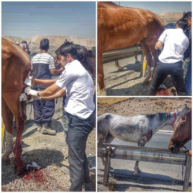 امدادرسانی اورژانس به اسب های آسیب دیده + تصاویر