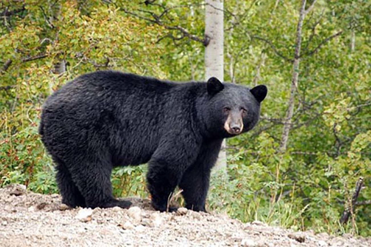 تلف شدن توله خرس سیاه آسیایی در بندرعباس