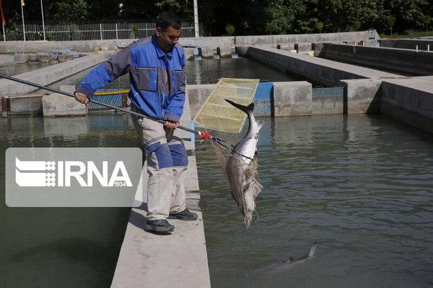 مراقبتهای بهداشتی آبزیان در جنوب کرمان تشدید شد