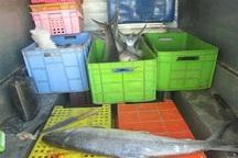210 کیلوگرم ماهی فاسد در اردستان معدوم شد