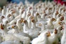 جوجه ریزی کافی برای تعادل قیمت گوشت مرغ شب عید انجام شد