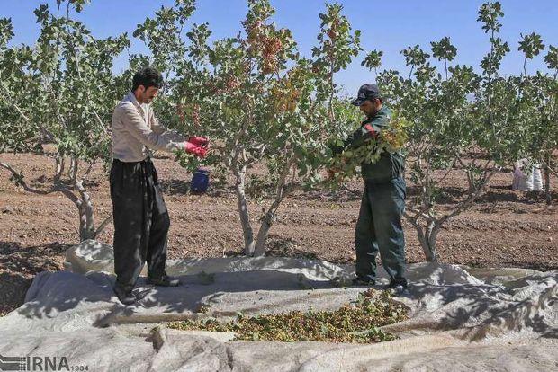 افزایش بهرهوری از آب، تولید پسته استان یزد را تا ۵۰ درصد افزایش داد