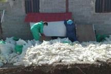 سال گذشته 14 میلیون قطعه جوجه در استان تهران معدوم شد