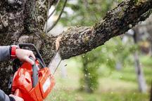 قاتل درختان جنگلی به دام افتاد  انتظار مجازات شدید برای متخلف