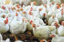 خودکفایی سیستان و بلوچستان در تولید گوشت مرغ به 57 درصد رسید