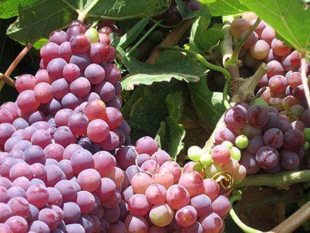 برداشت 35 هزار تن انگور یاقوتی در سیستان و بلوچستان