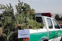 کاشت ماریجوانا در دنا ارتباطی با تسهیلات اشتغالزایی مددجویان کمیته امداد ندارد