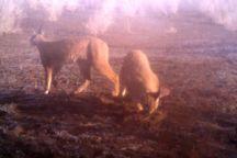 یک جفت کاراکال در منطقه حفاظت شده نیشابور ثبت شد