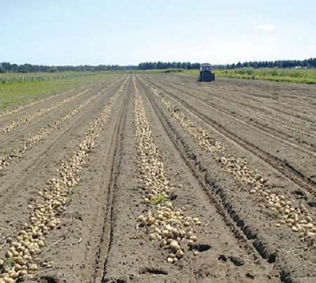 پیش بینی برداشت 150 هزار تن سیب زمینی در جنوب کرمان