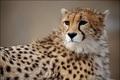 شناسایی 21 قلاده یوزپلنگ ایرانی در استان سمنان