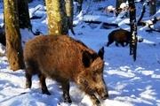 گرازهای گرسنه مهمان مریوانیها شدند